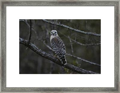 A Red-shouldered Hawk Sits On A Tree Framed Print by Bates Littlehales