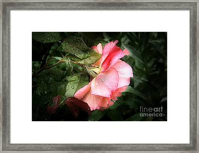 A Rose Is A Rose Framed Print by VIAINA Visual Artist