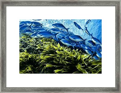 A School Of Blue Maomao Swim Framed Print by Brian J. Skerry