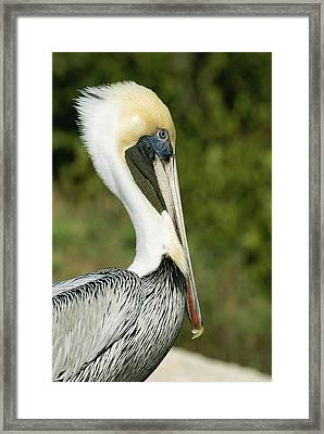 A Side View Of A Pelican Framed Print by Norbert Rosing