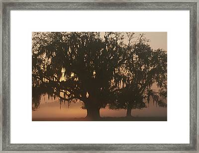 A Silhouetted Spanish Moss-draped Oak Framed Print by Sarah Leen