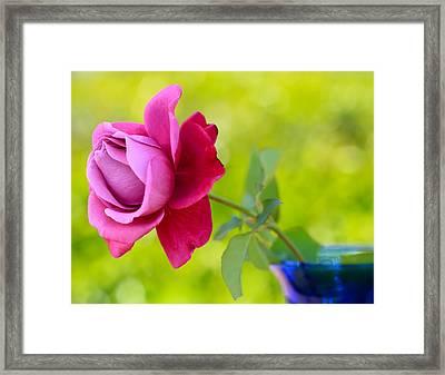 A Single Rose Framed Print by Heidi Smith