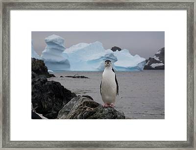 A Solitary Chinstrap Penguin Stands Framed Print by Paul Nicklen