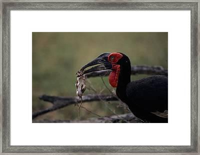 A Southern Ground Hornbill Prepares Framed Print by Tim Laman