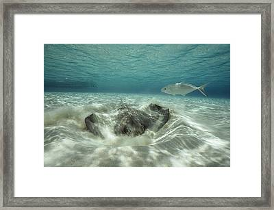 A Southern Sting Ray Burrowing Framed Print by Bill Curtsinger