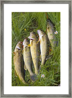 A String Of Freshly Caught Walleye Fish Framed Print by Skip Brown