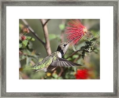 A Taste For Nectar  Framed Print by Saija  Lehtonen