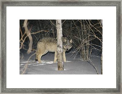 A Timber Wolf Peers From Behind A Tree Framed Print by Paul Nicklen