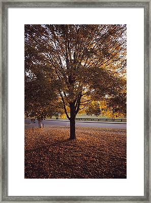 A Tree In Autumn Foliage On The Grounds Framed Print by Sam Abell