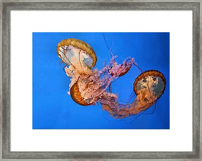 A Trio Of Jellyfish Framed Print by Kristin Elmquist