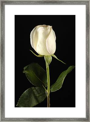 A White Rose Rosaceae Framed Print by Joel Sartore