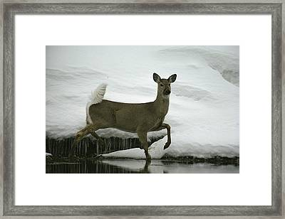 A White-tailed Deer Paces The Edge Framed Print by Michael S. Quinton