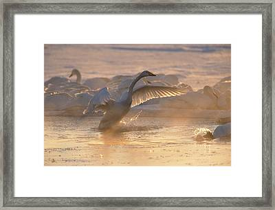 A Whooper Swan Flaps Its Wings Framed Print by Tim Laman