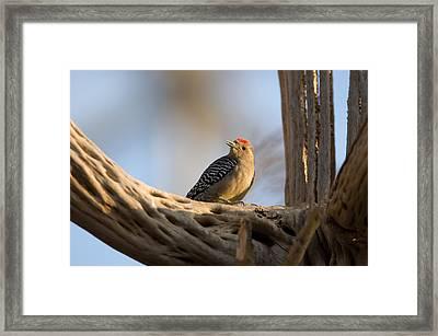 A Woodpecker Inside The Desert Dome Framed Print by Joel Sartore