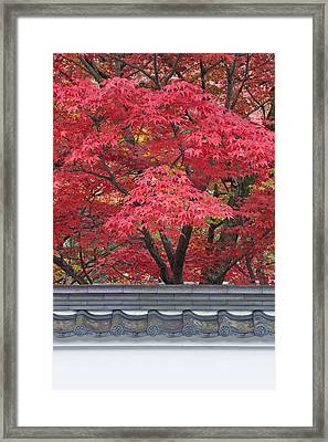 Acer Trees Acer Palmatum. Autumn Color Framed Print by Rob Tilley