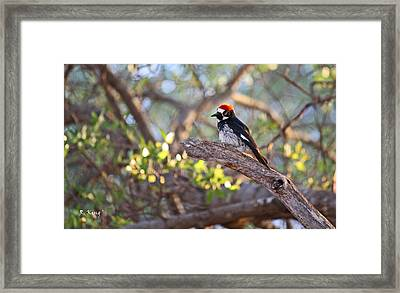 Acorn Woodpecker On A Branch Framed Print by Roena King
