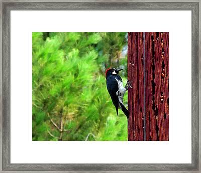 Acorn Woodpecker Framed Print by Timothy Bulone