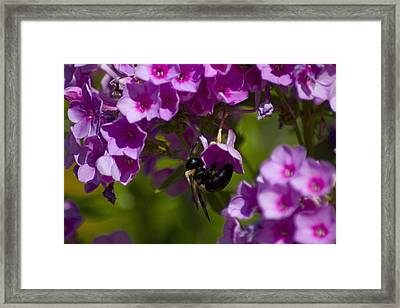 Acrobatic Bee Framed Print by Sven Brogren