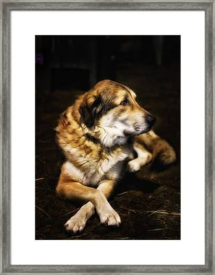 Adam - The Loving Dog Framed Print by Bill Tiepelman