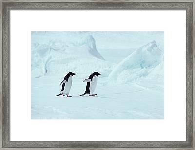 Adelie Penguins, Antarctica Framed Print by Chris Sattlberger