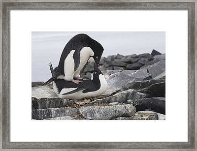 Adelie Penguins Mating  Antarctica Framed Print by Flip Nicklin