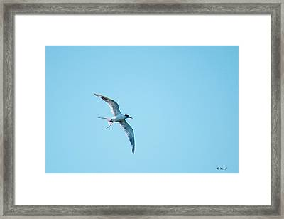 Adult Forster's Tern In Molt Framed Print by Roena King