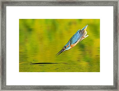 Adult Male Common Kingfisher, Alcedo Framed Print by Joe Petersburger