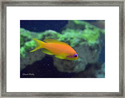 African Anthias Framed Print by Sandi OReilly