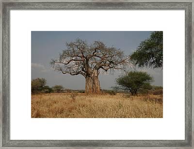 African Baobab Tree In The Tarangire Framed Print by Gina Martin