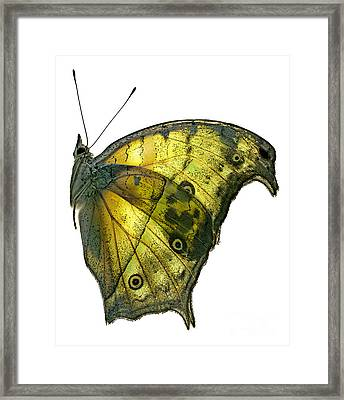African Butterfly - Salamis Parhassus  Framed Print by Janeen Wassink Searles