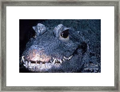 African Dwarf Crocodile Framed Print by Dante Fenolio