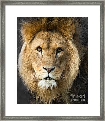African Lion Framed Print by Andrew  Michael