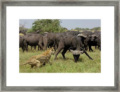African Lion Panthera Leo Fending Framed Print by Pete Oxford