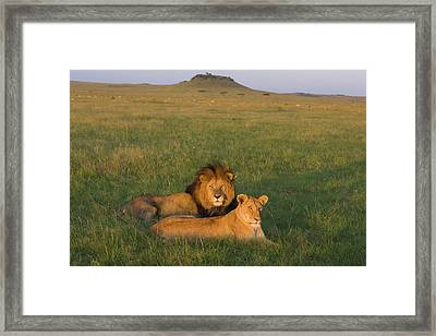 African Lion Panthera Leo Male Framed Print by Suzi Eszterhas