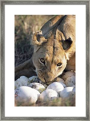 African Lion Panthera Leo Raiding Framed Print by Peter Blackwell