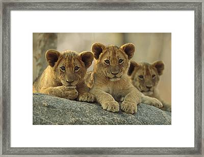 African Lion Three Cubs Resting Framed Print by Tim Fitzharris