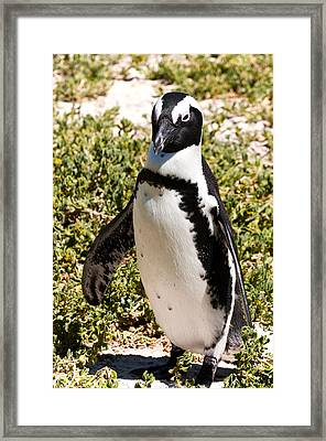 African Penguin Framed Print by Fabrizio Troiani
