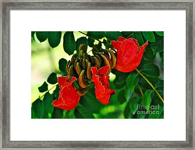 African Tulip Tree Framed Print by Kaye Menner