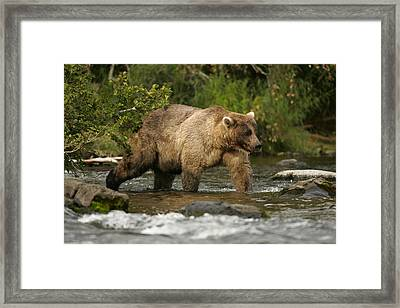 Alaskan Brown Bear Ursus Arctos Walking Framed Print by Roy Toft