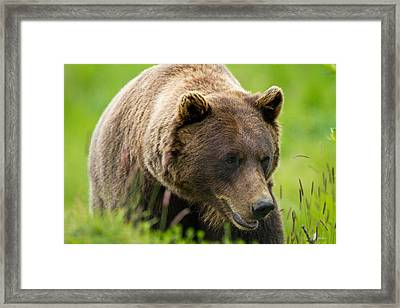 Alaskan Grizzly Framed Print by Adam Pender