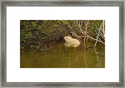 Albino Neutra Rat Framed Print by Roena King