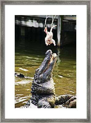 Alligator Feeding Framed Print by Garry Gay