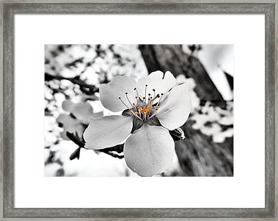 Almond Blossom Framed Print by Marianna Mills