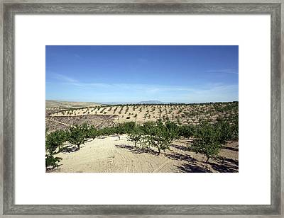 Almond Plantation Framed Print by Carlos Dominguez