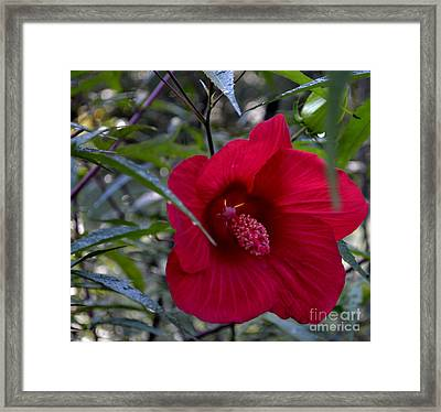 Almost Opened Hibiscus Framed Print by Eva Thomas