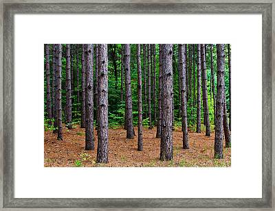 Alone Among The Pines Framed Print by Rachel Cohen
