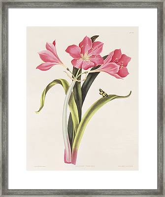 Amaryllis Purpurea Framed Print by Robert Havell