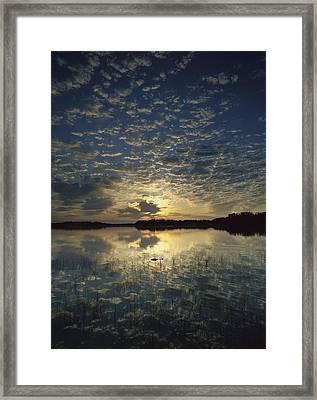 American Alligator In Nine Mile Pond Framed Print by Tim Fitzharris