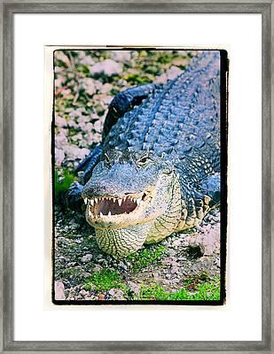 American Alligator Framed Print by Rudy Umans