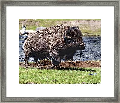 American Bison Img 8881   2012 Framed Print by Torrey E Smith